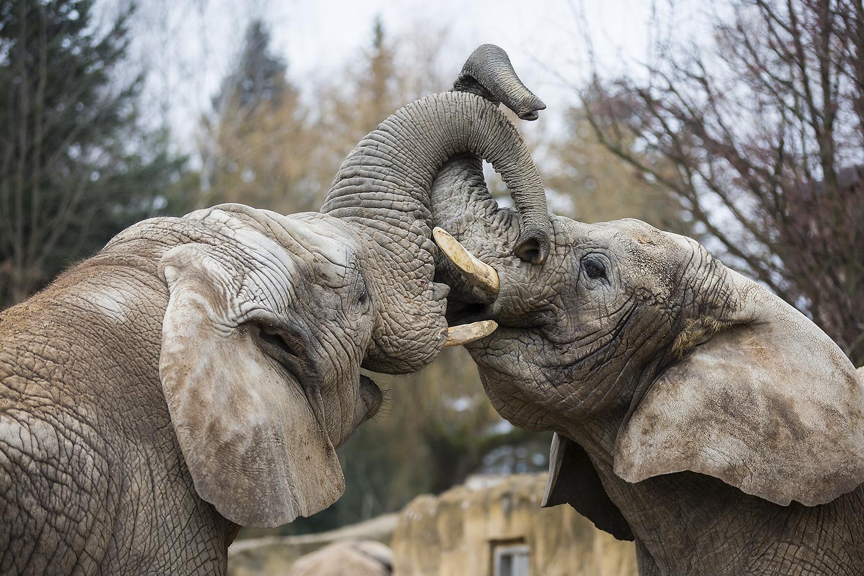 cestování / ZOO Dvůr Králové, sloni